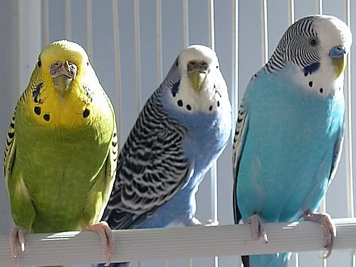 Blue Budgie Parakeet Parakeet Budgie Loves to